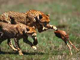 Life Lessons Cheetahs and Thomsons Gazelle