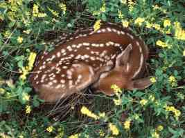 Sleeping Whitetail Fawn