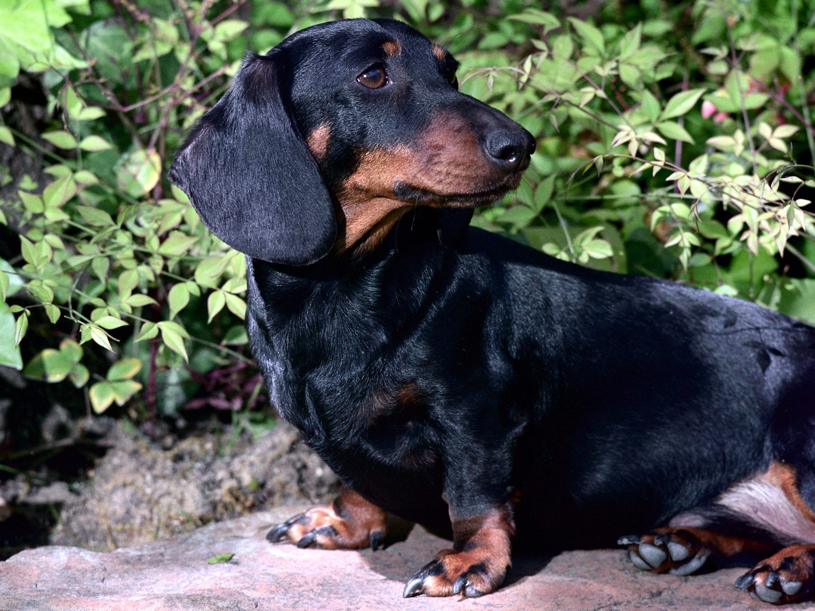 Black And Tan Dachshund Next Dogs Wallpaper