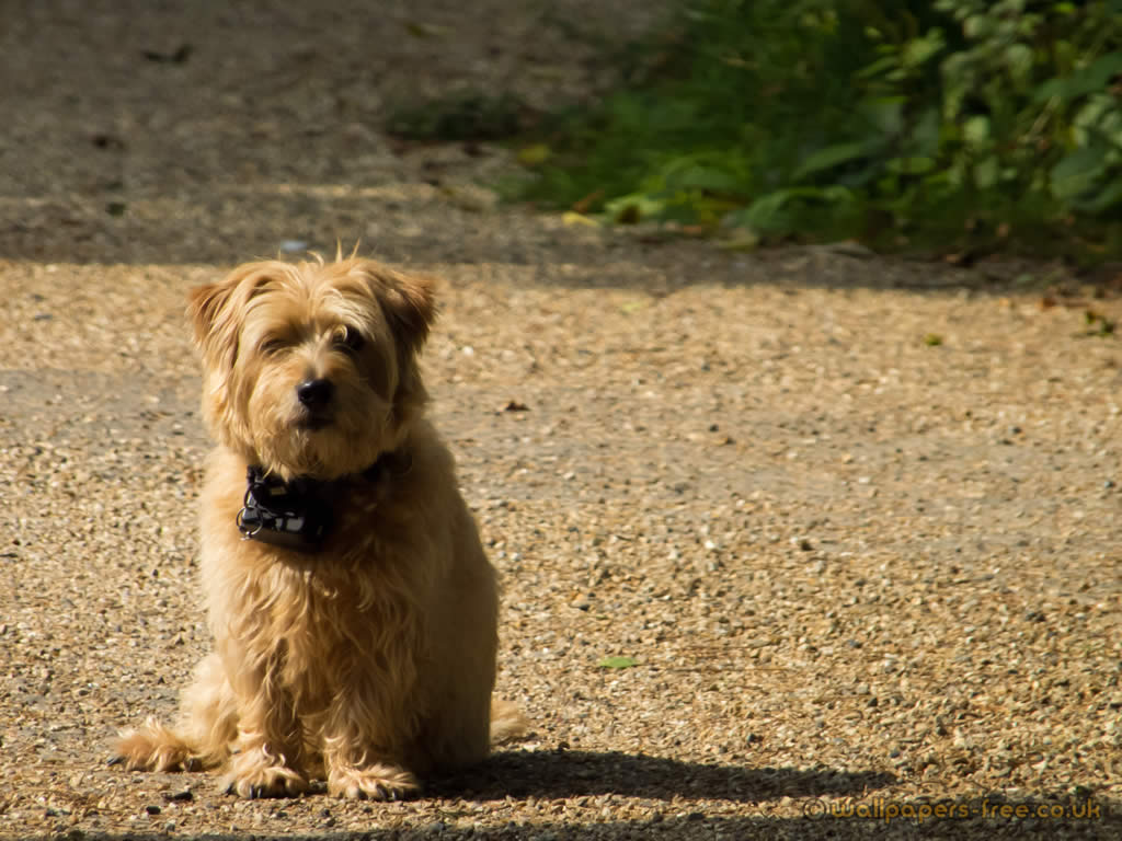 Caramel Long Haired Terrier Waiting On The Driveway