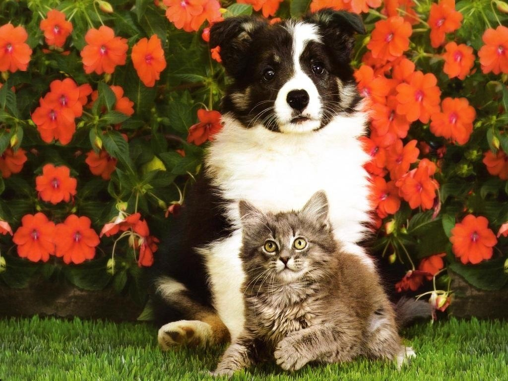 Collie Puppy And Tabby Kitten
