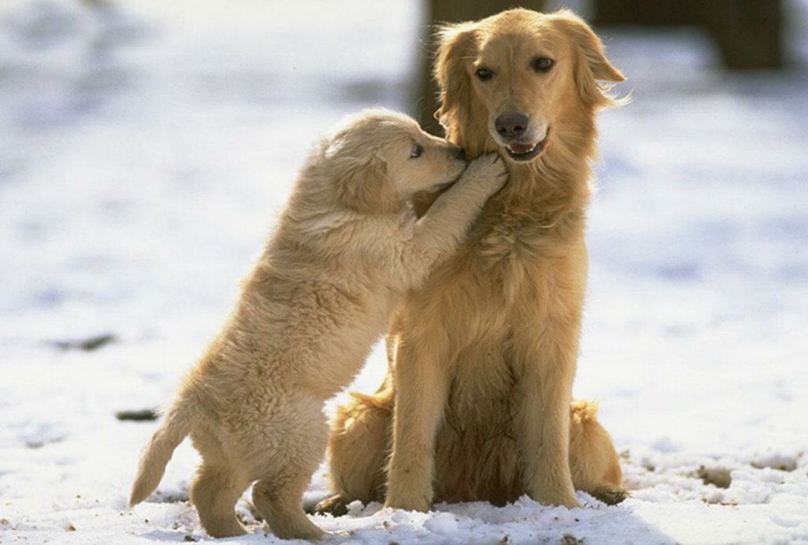 Golden Retriever With Pup In The Snow