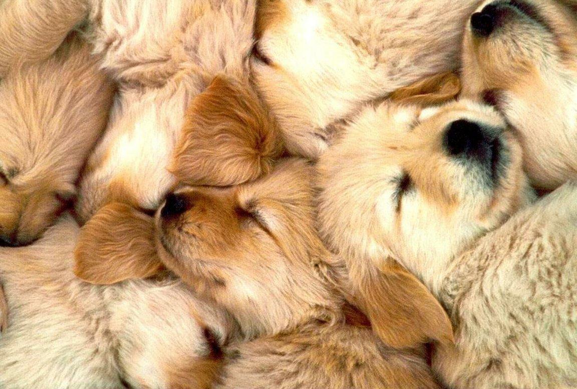Litter Of Sleeping Golden Retriever Puppies Next Dogs Wallpaper