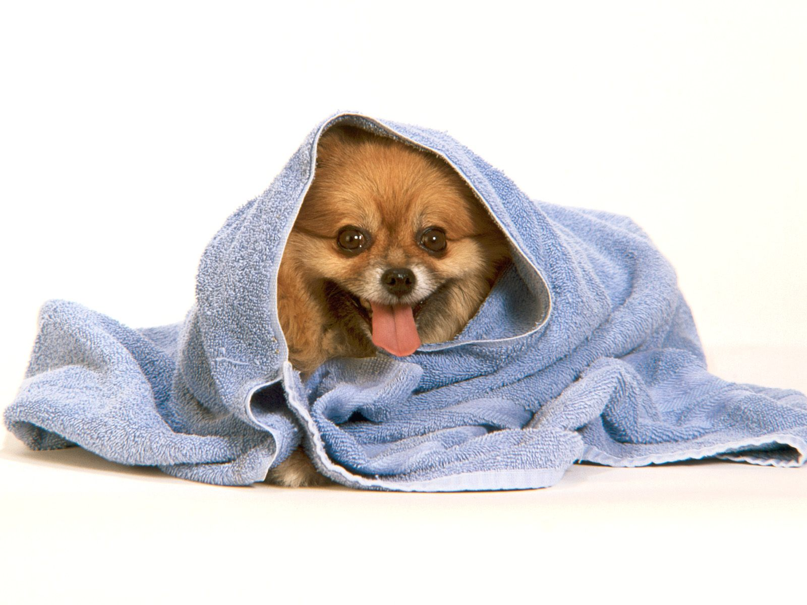 Pomeranian After The Bath