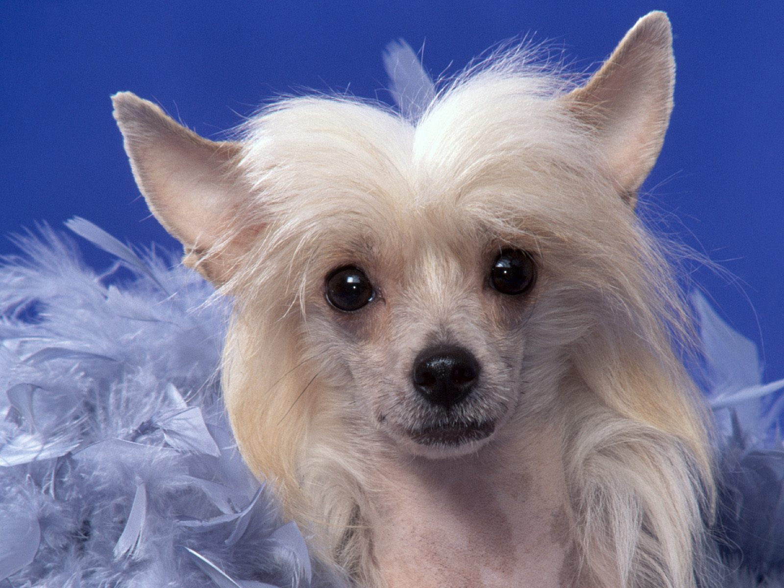 Pyramid Chinese Crested Dog