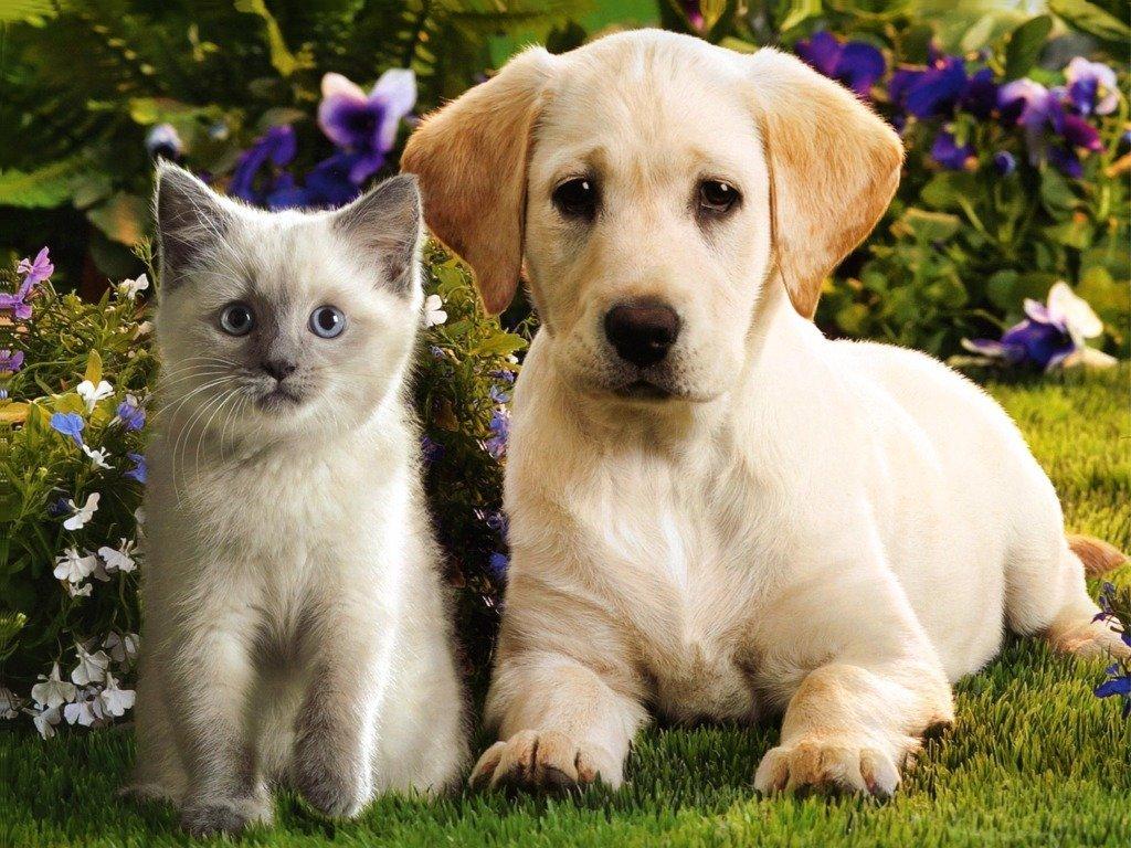 Retriever Pup And Ragdoll Kitten