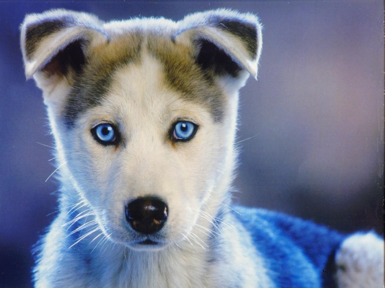 Royal Canin Calendar Siberian Husky Pup Dogs Wallpaper