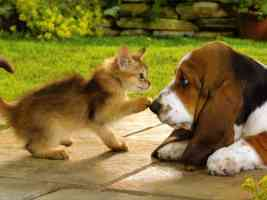 basset puppy and ginger kitten