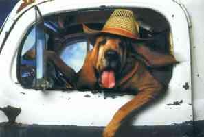 bassett hound driving truck