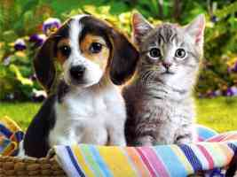 beagle puppy and silver tabby kitten