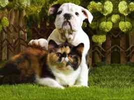 bulldog puppy and tortoiseshell kitten
