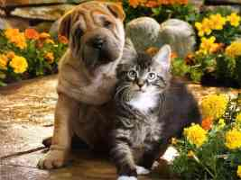 chow chow pup and tabby kitten