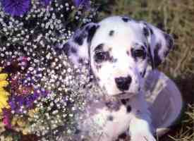 dalmatian puppy with flowers