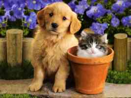 golden retriever pup and kitten in flowerpot