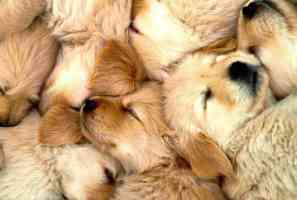 litter of sleeping golden retriever puppies