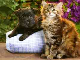 longhair tabby kitten and longhair terrier puppy