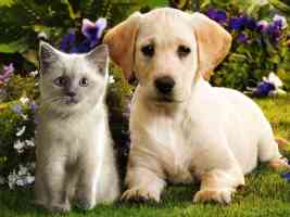 retriever pup and ragdoll kitten
