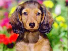 royal canin calendar hairy dachshund pup