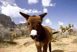 nevada donkey