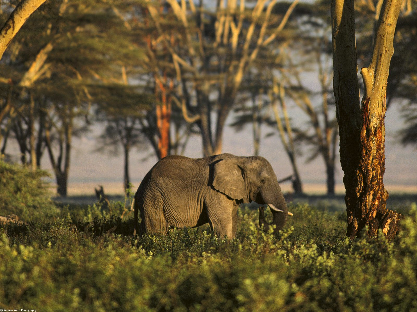 African Elephant Tanzania Africa