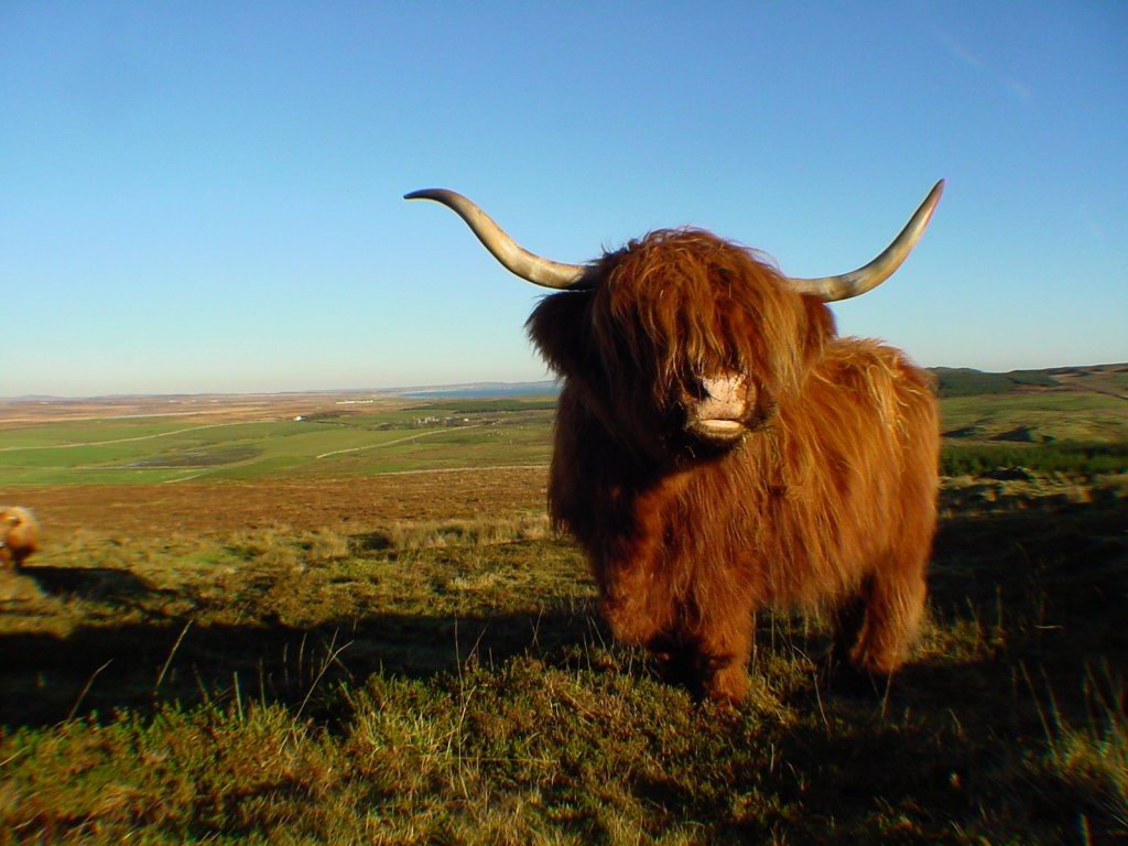 Highland cow farm animals wallpaper for Www coo