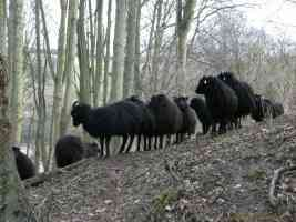 herd of hebredian mountain sheep