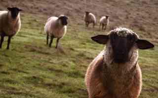 sheep curiosity