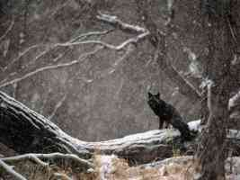Black Phase Red Fox in Snowstorm