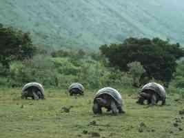 Giant Galapagos Tortoises Isabela Island Galapagos