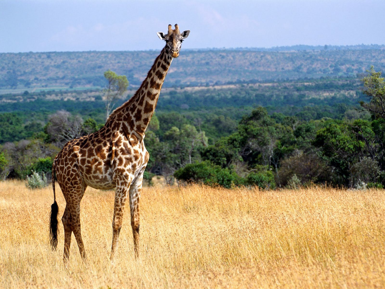 Picture of a giraffe in Kenya