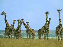 Giraffe Herd in Field Kenya Africa