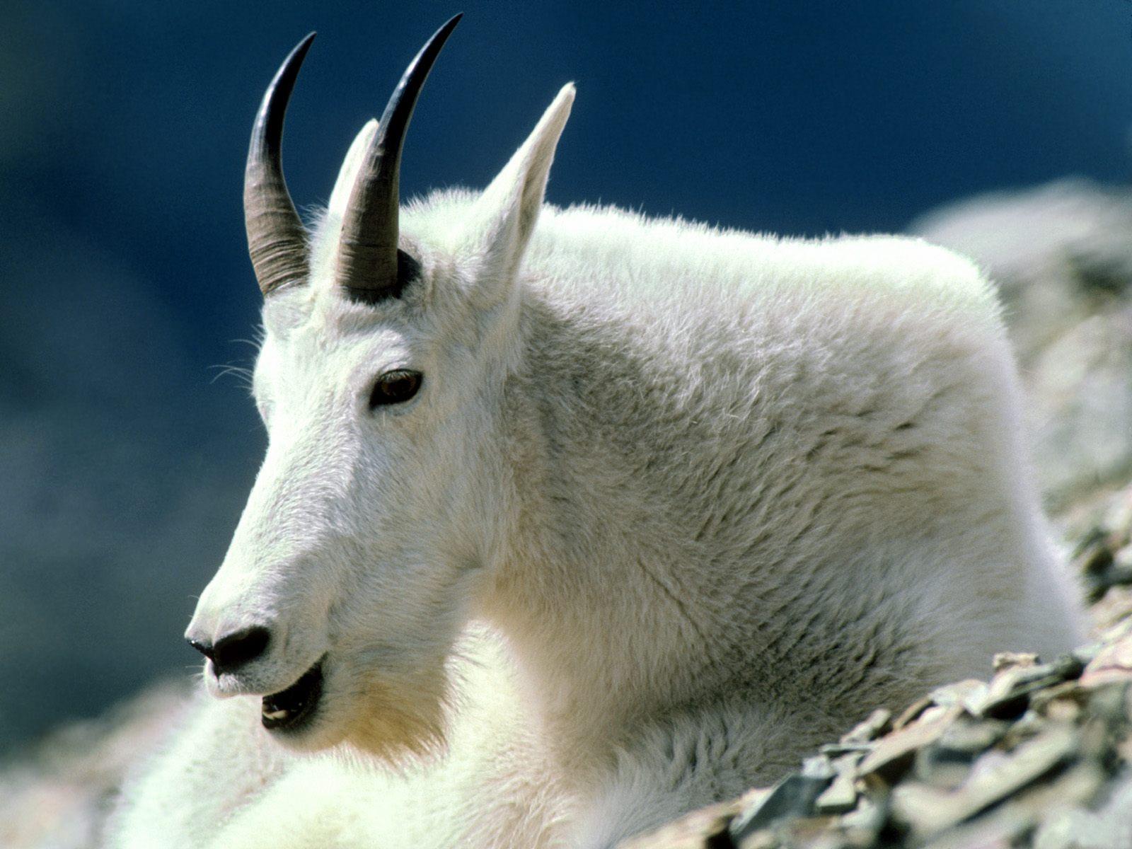 Mountain Goat Montana