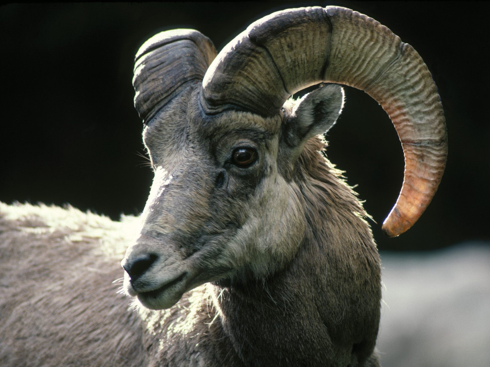 Rocky Mountain Bighorn Sheep Colorado