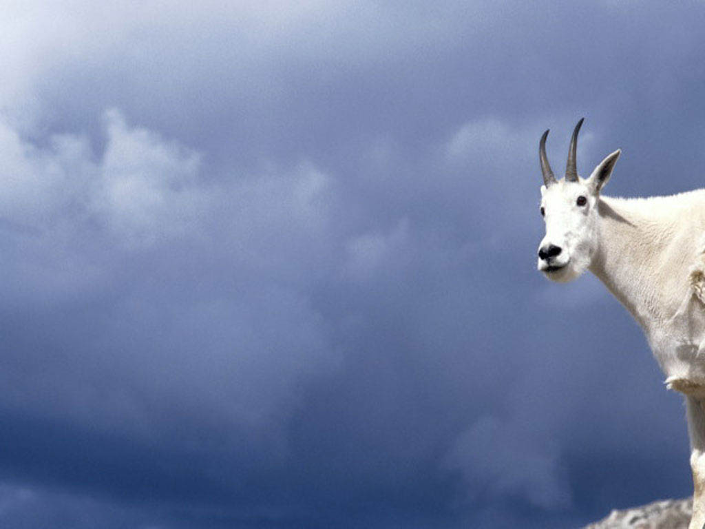 Mountain Goat In The Clouds