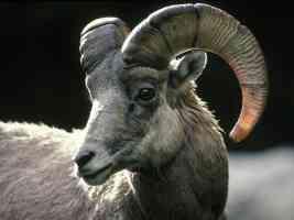 Rocky Mountain Bighorn Sheep Colorado