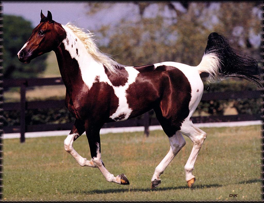 National Show Horse Calypso Bay