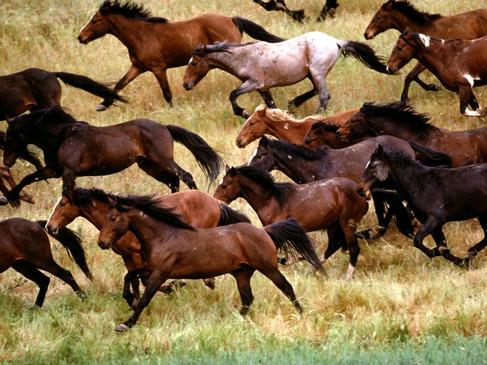 Wild Mustangs Gardner Ranch California - animals wallpaper image with ...
