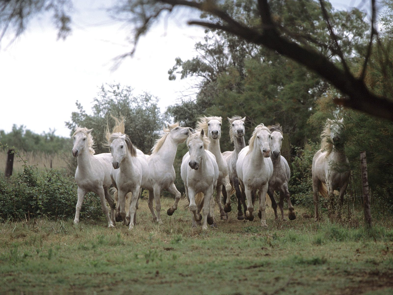 Wild And Free Camargue Horses