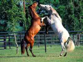 Andalusians dancing
