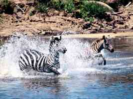 Going for a Swim Burchells Zebra