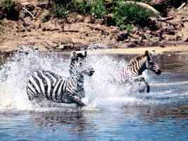 Going for a Swim Burchells Zebra