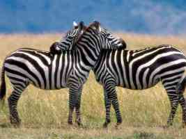 Serengeti Love Burchells Zebras
