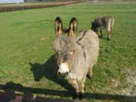 are you laughing at my mule