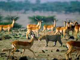 Leopard Among Impalas Kenya