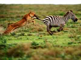 The Attack Lioness and Zebra