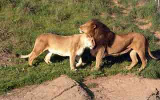 oakland lions
