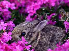 Baby Eastern Cottontail Rabbit Indiana