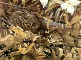 bateman robert among the leaves cottontail rabbit
