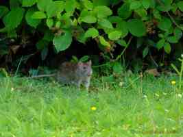 water rat in the undergrowth