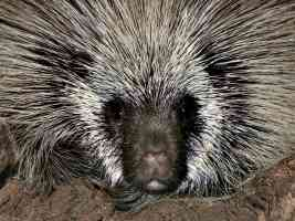 porcupine arizona